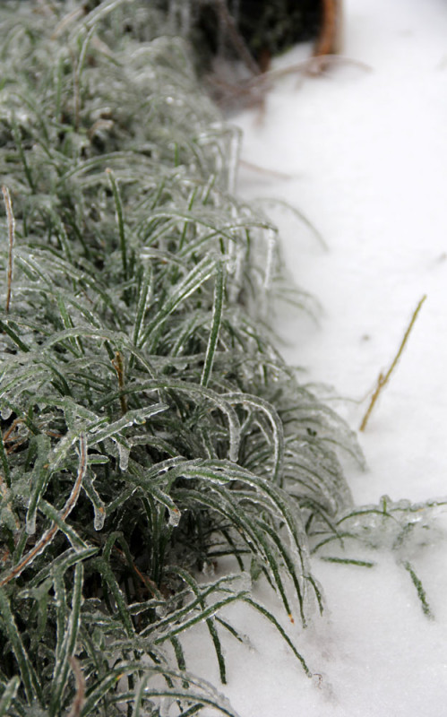dallas Frozen plants | Via Veritas Photography