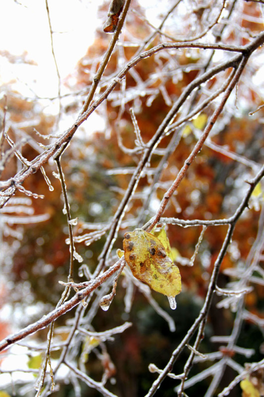 IMG_2138frozen yellow leaf Veritas Photography | via @veritasphotog