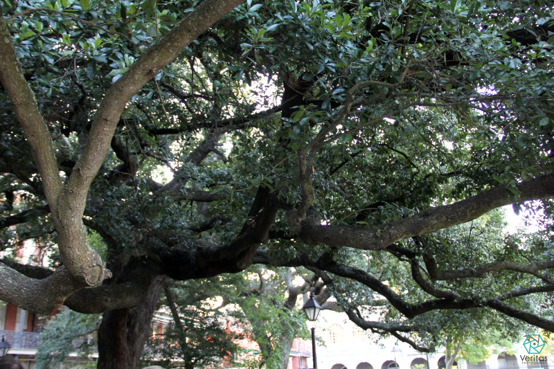 jackson square tree new orleans